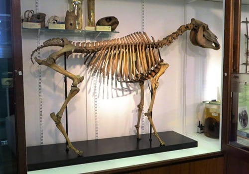 The quagga  after conservation and remounting. LDUCZ-Z581. Courtesy of Nigel Larkin