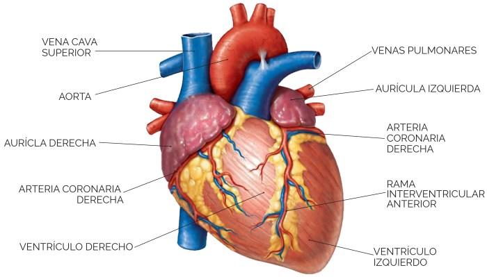nombres de arterias y venas del corazon