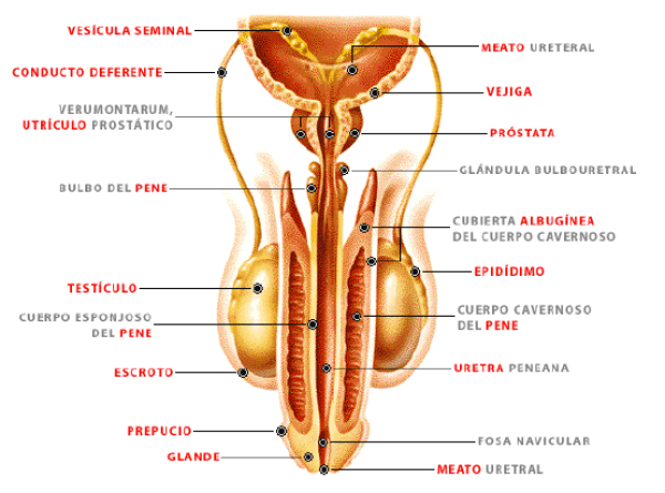 Unidad didáctica 1: Anatomía y Fisiología del Sistema Reproductor ...