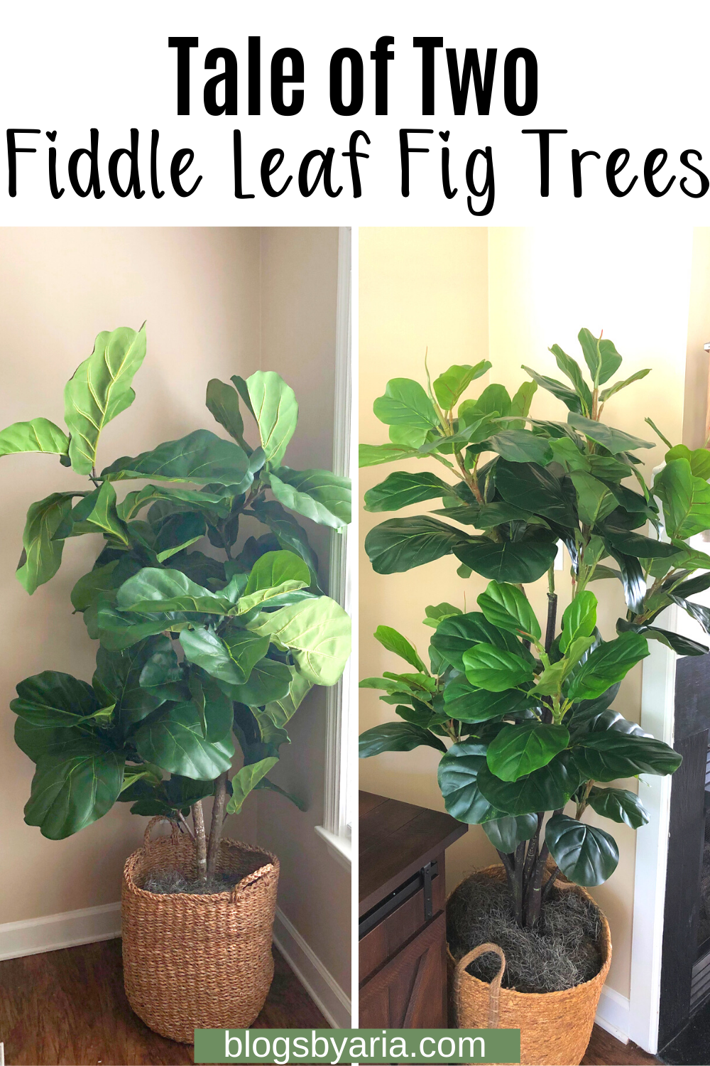 Tale of Two Fiddle Leaf Fig Trees
