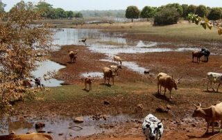 Cattle roam among the receding waters in the Niger River Basin