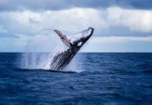 Cá voi vừa di chuyển một số lượng BTC và XRP khổng lồ, nguyên nhân khiến thị trường đẫm máu là đây?
