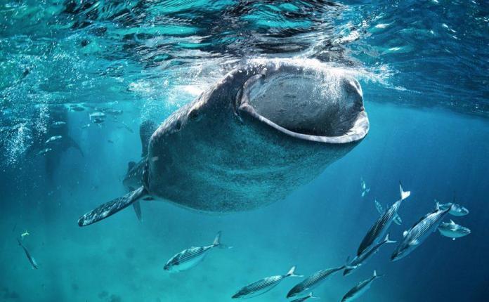 Cá voi đang tích trữ Bitcoin với tốc độ kỷ lục.