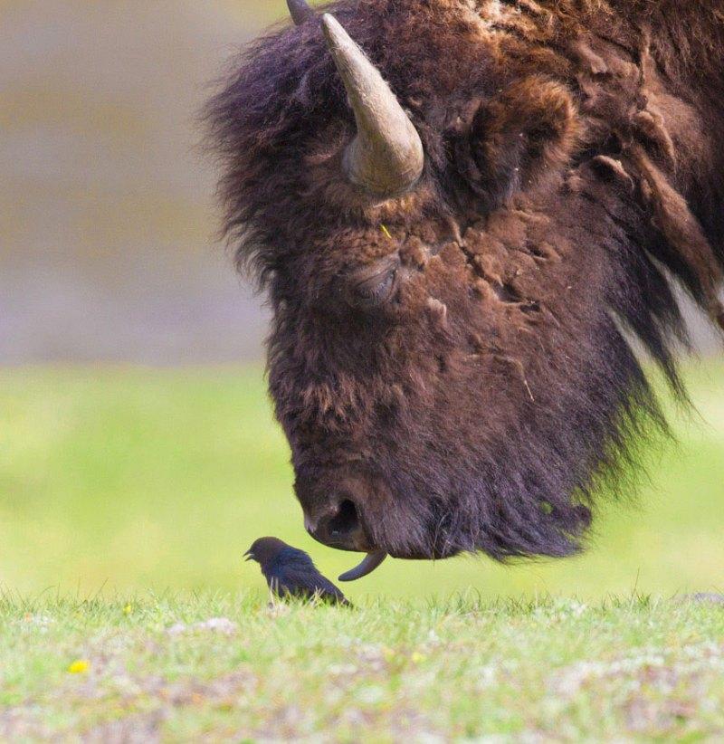 photos-mignonnes-bison-oiseau