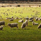 La laine de Mérino - Rando Québec