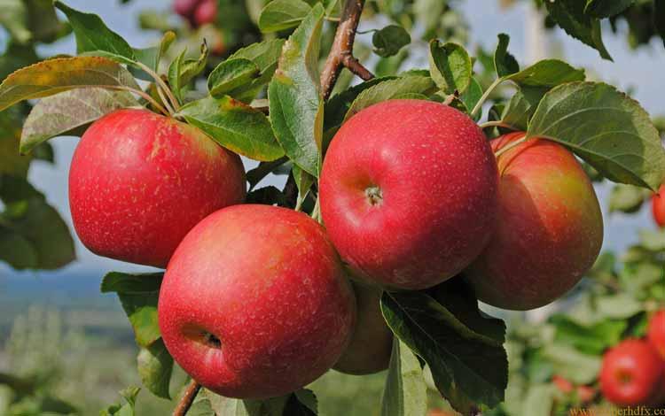 Makanan Untuk Kesehatan Jantung - Apel