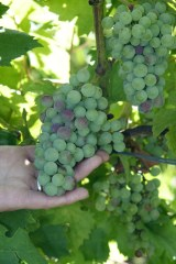 Cab Fran grapes at the beginning of veraison.