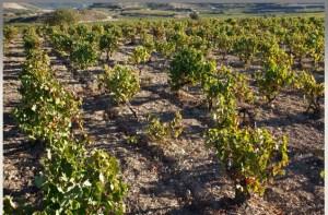 Exopto vines, el agudo