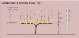 Vine trellis diagram, VSP