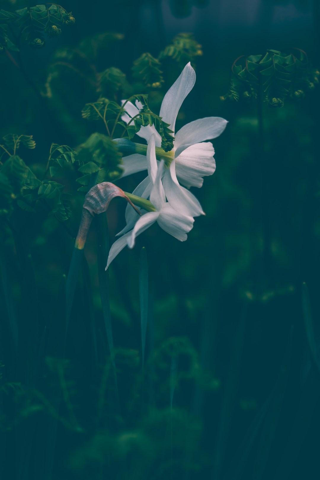 narciss thalia makro