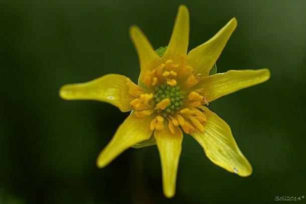 Blomsterphoto Ranunculus ficaria subsp. bulbilifer Soli 2014