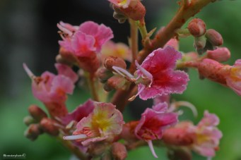 Blomsterphoto Aesculus ×carnea