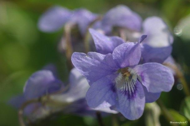 Blomsterphoto Viola riviniana 04 2014 Soli