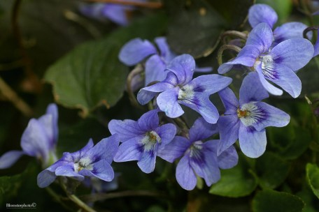 Blomsterphoto Viola riviniana 2015 Soli