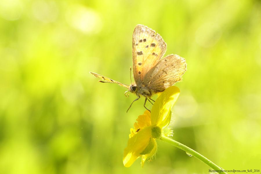 blomsterphoto-kleine-vuurvlinder-in-zomerlicht_tegenlicht-soli-2016