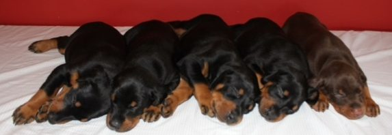 Puppies 010