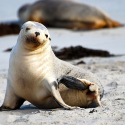 Baby seal on beach on Kangaroo Isand, AU