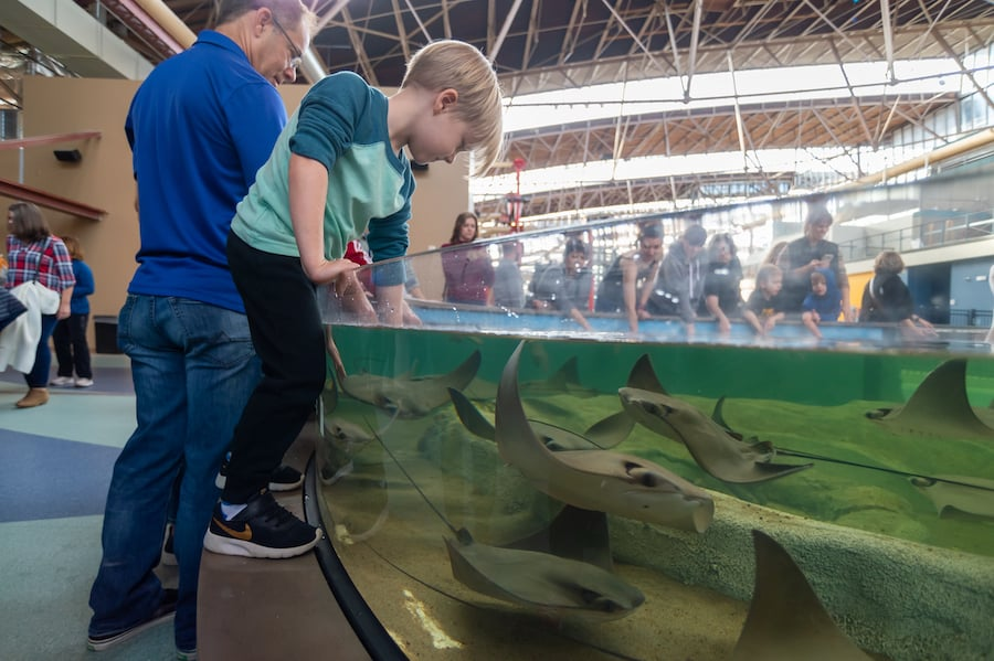 getting hands on with rays at the St Louis Aquarium, designed by PGAV Destinations