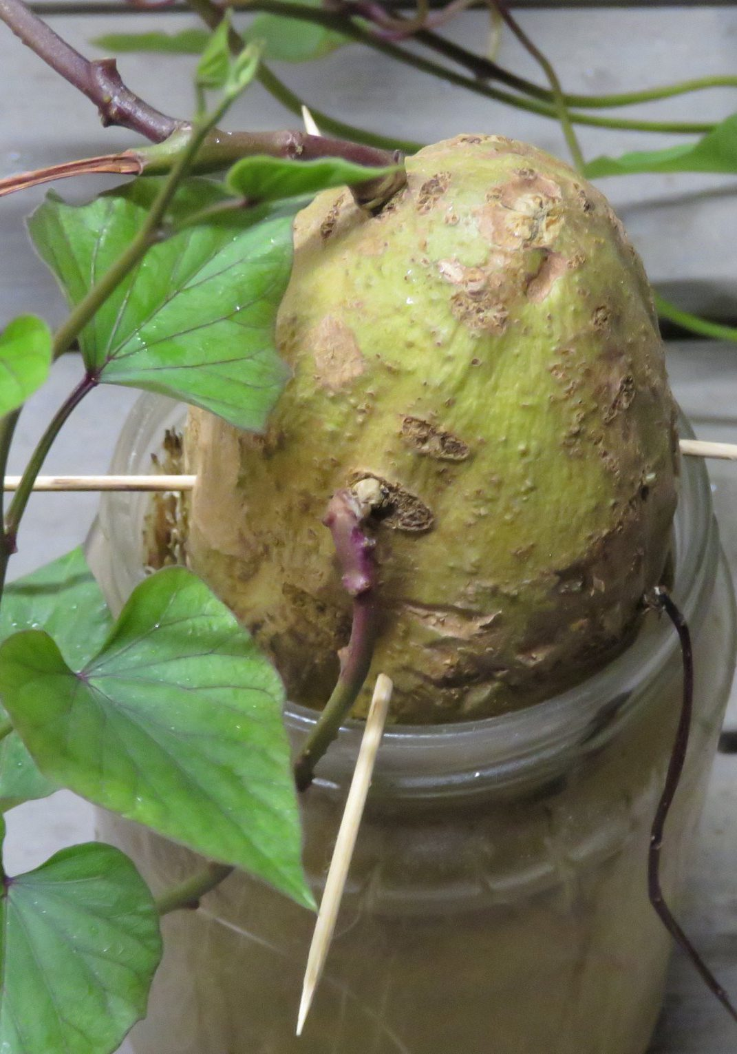 I started this sweet potato before Chanukah and soon I will plant the vines in the ground. I twisted them off and left them in water for a while to get them ready. Note how I used toothpicks to prop up the tuber, since the jar was kind of big.