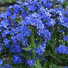 Anchusa Blue Angel
