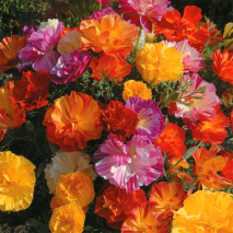 Californian Poppy - Jelly Beans