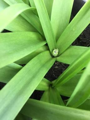 Allium 0504162