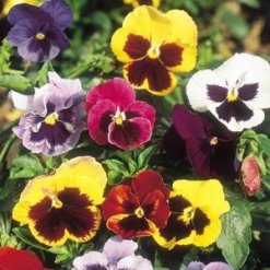 PANSY Giant Fancy Mix