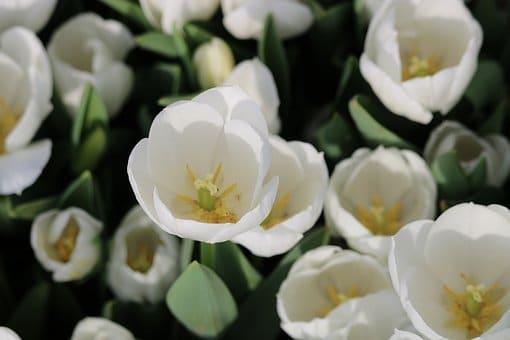 how to grow bulbs, tulip bulbs, flower bulbs, tulip flowers
