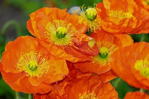 10 plants to grow in spring, poppies, golden poppies, california golden poppies, spring plants, spring flowers