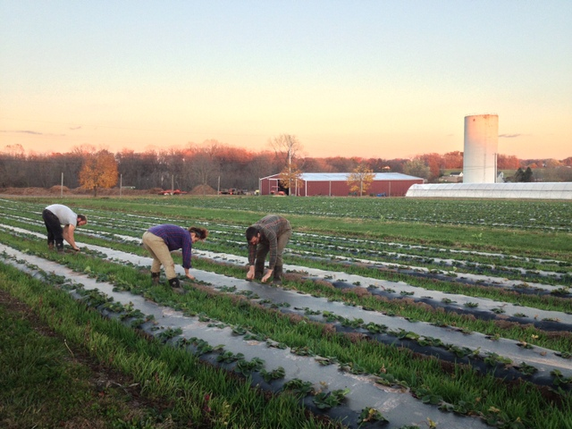 Weeding next year's strawberry crop as the sun sets.