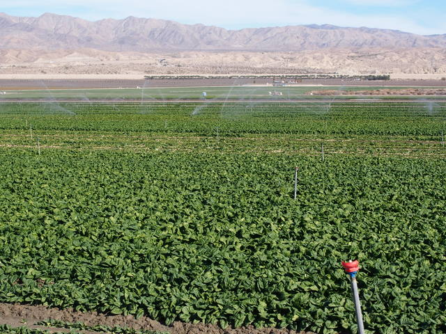 Irrigated spinach fields in the Imperial Valley.