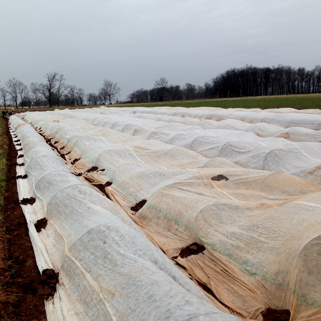 Row cover protects a field of spring greens from wind and cold weather.