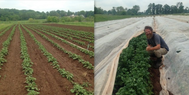 On the left is a field of potatoes on bare ground, irrigated with overhead sprinklers. On the right is a field of potatoes planted on black plastic mulch, irrigated with drip, and covered with row covers.