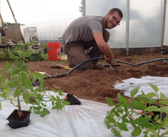 Justin hooks up drip irrigation on the greenhouse heirloom tomatoes.