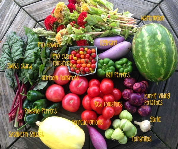 8/11/15, CSA on-farm share #11