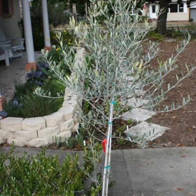 Mandy's Planting Olive Trees!