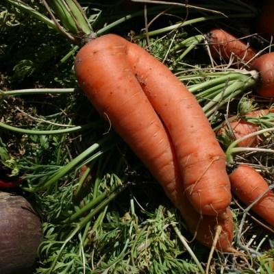 Pullin' Carrots…