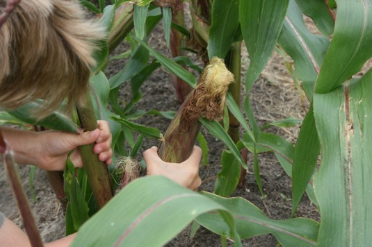 kid pulling corn