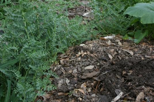 compost chickpeas