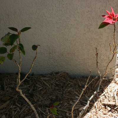 Save Your Poinsettia for Year-round Beauty