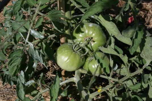 happy tomatoes
