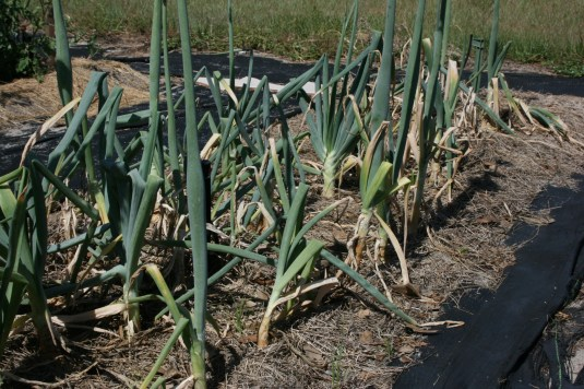 sweet onion plants ready for harvest