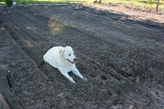 gardening 101 - tilling soil
