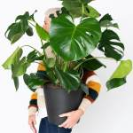 Buy Large Potted Monstera Indoor Plant Bloomscape