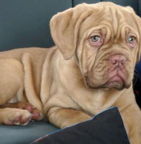 Dogue de Bordeaux Puppy close up on chair