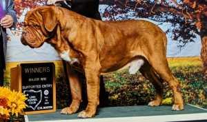 dogue de bordeaux breeder - Rocker Stud