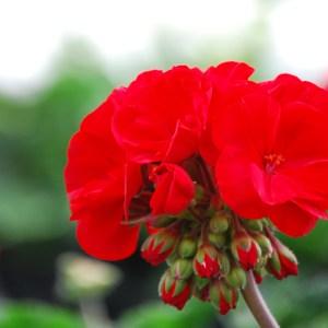 Red Geranium Annuals Link