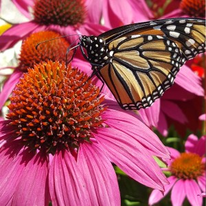 Pink Coneflower with Monarch Perennials Link