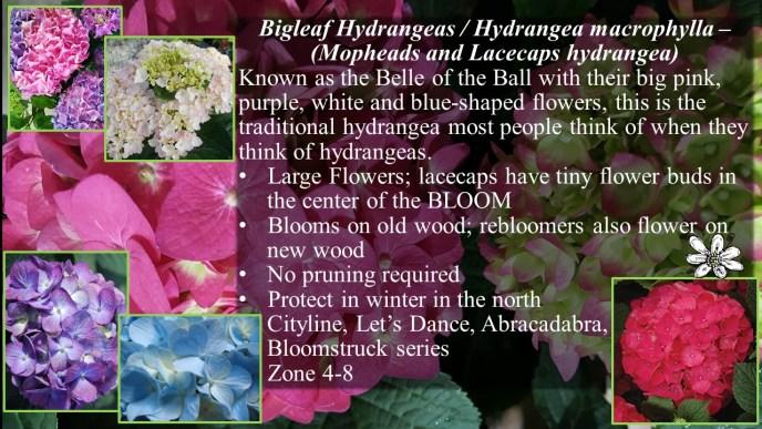 Bigleaf Hydrangea / Mopheads, Lacecapes, macrophylla
