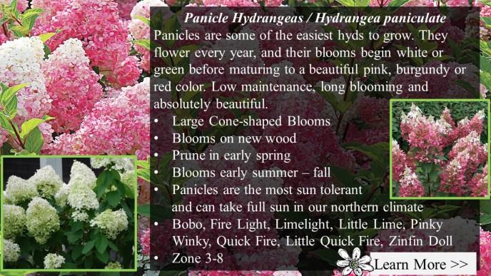 Panicle Hydrangea / Paniculata
